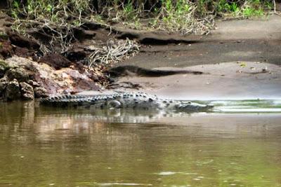 Cocodrilo en Costa Rica