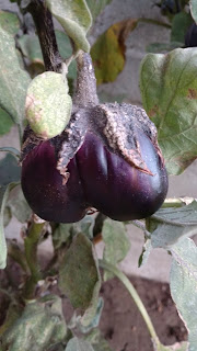 Mitoyo Eggplant, twin - old