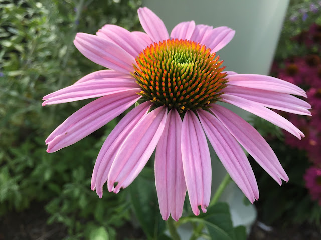 Purple coneflower 'Magnus'