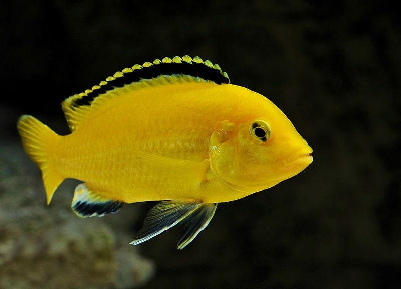 Gambar jenis jenis ikan cichlid ( Malawi Cichlids ) -  Ikan Lemon - Electric Yellow Cichlid ( Labidochromis caeruleus )