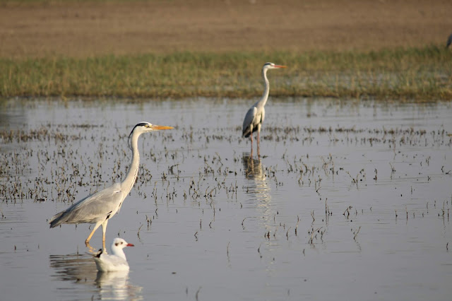 Bird watching, Bhigwan, Flamingo, Storks, Herons, Bird Sanctuary, Bhigwan Bird Sanctuar