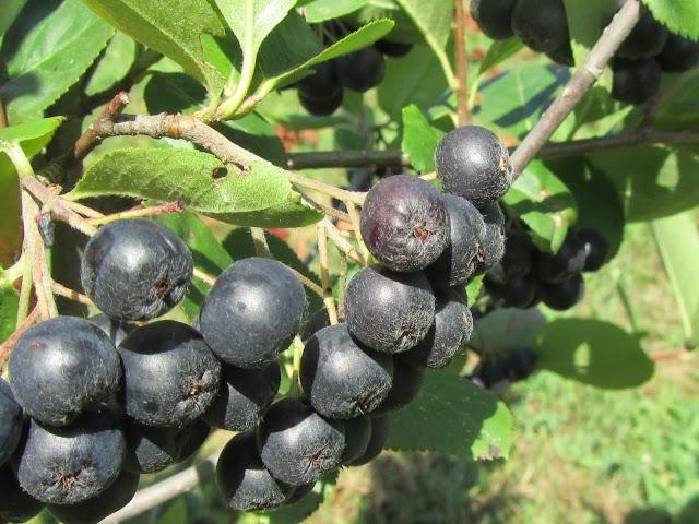 Frutti di Aronia Maturi