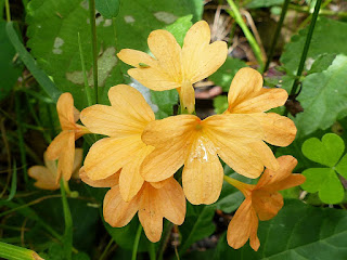 Crossandre en entonnoir - Crossandra infundibuliformis - Orange marmelade