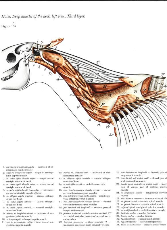 anatomia-cabeca-pescoco-neck-head-horse-cavalo-equino