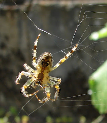 Spinnen, spider, araignée, arañas, ragno, паук, con nhện, Spinning, spin, tjerrje, predenje, предене, ämblik, hämähäkki, araignée, αράχνη, labah-labah, ragno