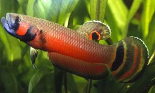 Betta macrostama - Jenis Ikan Cupang