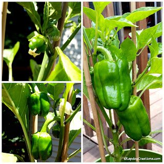 Growing Bell Peppers in Container Garden