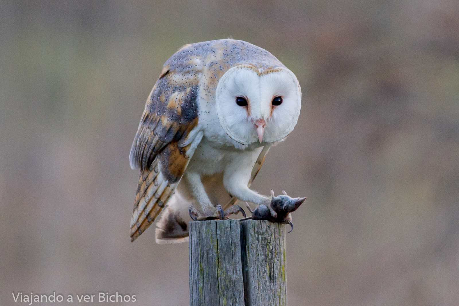 Discover 12 fascinating facts about the beautiful barn owl 1 The barn owl was voted Britains favourite farmland bird by the public in an RSPB poll in