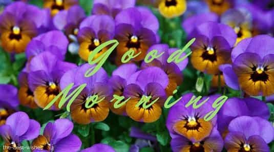 good morning romantic rose with pansy background bloom blossom