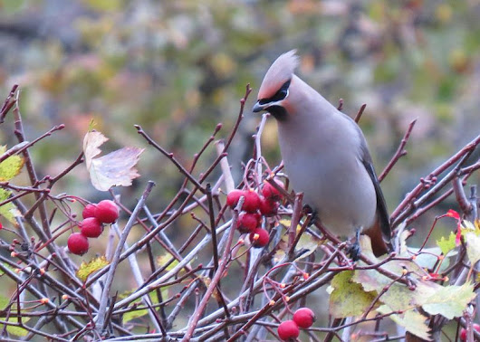 Thousands of Waxwings and Thrushes