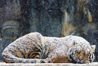 Tigre de bengala en nieve