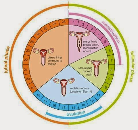 Cuantos son los dias fertiles de una mujer despues de la menstruacion