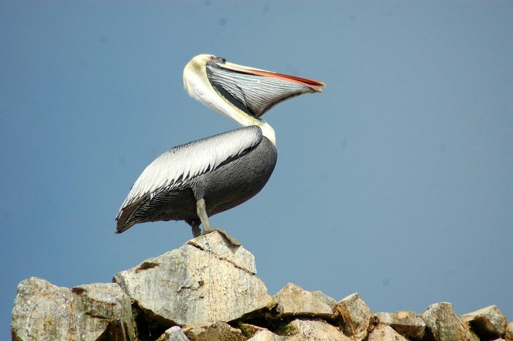 Taxonom a chordata aves de pandion haliaetus a sylvia - Fotos de pelicanos ...