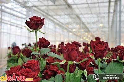 Hoa hồng – loài hoa nổi bật Vườn Bách thảo Moscow.