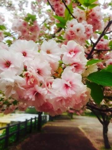 変わった形の桜