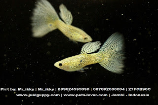 Jual Guppy Blue Singapore,  Harga Guppy Blue Singapore,  Toko Guppy Blue Singapore,  Diskon Guppy Blue Singapore,  Beli Guppy Blue Singapore,  Review Guppy Blue Singapore,  Promo Guppy Blue Singapore,  Spesifikasi Guppy Blue Singapore,  Guppy Blue Singapore Murah,  Guppy Blue Singapore Asli,  Guppy Blue Singapore Original,  Guppy Blue Singapore Jakarta,  Jenis Guppy Blue Singapore,  Budidaya Guppy Blue Singapore,  Peternak Guppy Blue Singapore,  Cara Merawat Guppy Blue Singapore,  Tips Merawat Guppy Blue Singapore,  Bagaimana cara merawat Guppy Blue Singapore,  Bagaimana mengobati Guppy Blue Singapore,  Ciri-Ciri Hamil Guppy Blue Singapore,  Kandang Guppy Blue Singapore,  Ternak Guppy Blue Singapore,  Makanan Guppy Blue Singapore,  Guppy Blue Singapore Termahal,  Adopsi Guppy Blue Singapore,  Jual Cepat Guppy Blue Singapore,  Guppy Blue Singapore  Jakarta,  Guppy Blue Singapore  Bandung,  Guppy Blue Singapore  Medan,  Guppy Blue Singapore  Bali,  Guppy Blue Singapore  Makassar,  Guppy Blue Singapore  Jambi,  Guppy Blue Singapore  Pekanbaru,  Guppy Blue Singapore  Palembang,  Guppy Blue Singapore  Sumatera,  Guppy Blue Singapore  Langsa,  Guppy Blue Singapore  Lhokseumawe,  Guppy Blue Singapore  Meulaboh,  Guppy Blue Singapore  Sabang,  Guppy Blue Singapore  Subulussalam,  Guppy Blue Singapore  Denpasar,  Guppy Blue Singapore  Pangkalpinang,  Guppy Blue Singapore  Cilegon,  Guppy Blue Singapore  Serang,  Guppy Blue Singapore  Tangerang Selatan,  Guppy Blue Singapore  Tangerang,  Guppy Blue Singapore  Bengkulu,  Guppy Blue Singapore  Gorontalo,  Guppy Blue Singapore  guppy,  Guppy Blue Singapore  tropical fish,  Guppy Blue Singapore  aquarium fish,  Guppy Blue Singapore  bubble guppies games,  Guppy Blue Singapore  guppy fish,  Guppy Blue Singapore  bubble guppies videos,  Guppy Blue Singapore  bubble guppies episodes,  Guppy Blue Singapore  bubble guppies full episodes,  Guppy Blue Singapore  super guppy,  Guppy Blue Singapore  bubble guppies cast,  Guppy Blue Singapore  aquarium online,  Guppy Blue Singapore  bubble guppies songs,  Guppy Blue Singapore  tetra aquarium,  Guppy Blue Singapore  guppies for sale,  Guppy Blue Singapore  pregnant guppy,  Guppy Blue Singapore  bubble guppies characters,  Guppy Blue Singapore  bubble guppy,  Guppy Blue Singapore  bubble guppies names,  Guppy Blue Singapore  guppies fish,  Guppy Blue Singapore  guppy breeding,  Guppy Blue Singapore  breeding guppies,  Guppy Blue Singapore  bubble guppie,  Guppy Blue Singapore  nick jr bubble guppies,  Guppy Blue Singapore  bubble guppies coloring pages,  Guppy Blue Singapore  bubble guppies video,  Guppy Blue Singapore  bubble guppy games,  Guppy Blue Singapore  guppy aquarium,  Guppy Blue Singapore  guppy care,  Guppy Blue Singapore  baby guppies,  Guppy Blue Singapore  design aquarium,  Guppy Blue Singapore  how to breed guppies,  Guppy Blue Singapore  endlers guppy,  Guppy Blue Singapore  bubble guppies wiki,  Guppy Blue Singapore  bubble guppies game,  Guppy Blue Singapore  guppies care,  Guppy Blue Singapore  guppy fry,  Guppy Blue Singapore  male guppies,  Guppy Blue Singapore  buble guppies,  Guppy Blue Singapore  guppy fish care,  Guppy Blue Singapore  female guppies,  Guppy Blue Singapore  female guppy,  Guppy Blue Singapore  guppy tank,  Guppy Blue Singapore  types of guppies,  Guppy Blue Singapore  online aquarium,  Guppy Blue Singapore  guppies aquarium,  Guppy Blue Singapore  pregnant guppies,  Guppy Blue Singapore  guppy giving birth,  Guppy Blue Singapore  what do guppies eat,  Guppy Blue Singapore  guppy life span,  Guppy Blue Singapore  guppy pond,  Guppy Blue Singapore  guppy grass,  Guppy Blue Singapore  guppies breeding,  Guppy Blue Singapore  aquarium guppy,  Guppy Blue Singapore  guppies giving birth,  Guppy Blue Singapore  bubble guppies pictures,  Guppy Blue Singapore  bubble guppies show,  Guppy Blue Singapore  male guppy,  Guppy Blue Singapore  guppy fish for sale,  Guppy Blue Singapore  pregnant guppy fish,  Guppy Blue Singapore  endler guppies,  Guppy Blue Singapore  guppy babies,  Guppy Blue Singapore  the bubble guppies,  Guppy Blue Singapore  bubble guppies images,  Guppy Blue Singapore  bubble guppies bubble puppy,  Guppy Blue Singapore  guppy food,  Guppy Blue Singapore  ferplast aquarium,  Guppy Blue Singapore  guppy temperature,  Guppy Blue Singapore  the binding isaac,  Guppy Blue Singapore  guppy tail,  Guppy Blue Singapore  the rebirth of isaac,  Guppy Blue Singapore  the binding of isaac rebirth guppy,  Guppy Blue Singapore  isaac the game,  Guppy Blue Singapore  guppie fish,  Guppy Blue Singapore  guppy fish breeding,  Guppy Blue Singapore  guppy for sale,  Guppy Blue Singapore  guppy tank mates,  Guppy Blue Singapore  aquarium shop online,  Guppy Blue Singapore  guppy gestation,  Guppy Blue Singapore  the binding of isaac guppy,  Guppy Blue Singapore  keeping guppies,  Guppy Blue Singapore  guppy definition,  Guppy Blue Singapore  guppy meaning,  Guppy Blue Singapore  guppy breathing,  Guppy Blue Singapore  fish tropical,  Guppy Blue Singapore  endlers guppies,  Guppy Blue Singapore  baby guppy,  Guppy Blue Singapore  nickelodeon bubble guppies,  Guppy Blue Singapore  guppy fish tank,  Guppy Blue Singapore  guppy types,  Guppy Blue Singapore  guppy fish types,  Guppy Blue Singapore  guppy diseases,  Guppy Blue Singapore  the binding of isaac 2,  Guppy Blue Singapore  isaac the binding,  Guppy Blue Singapore  wild guppies,  Guppy Blue Singapore  wild guppy,  Guppy Blue Singapore  fantail guppies,  Guppy Blue Singapore  guppy pregnancy,  Guppy Blue Singapore  lyretail guppy,  Guppy Blue Singapore  pregnant guppy stages,  Guppy Blue Singapore  guppy pregnant,  Guppy Blue Singapore  male and female guppies,  Guppy Blue Singapore  bubble guppys,  Guppy Blue Singapore  guppy birth,  Guppy Blue Singapore  do guppies need a heater,  Guppy Blue Singapore  pictures of guppies,  Guppy Blue Singapore  guppy fish life span,  Guppy Blue Singapore  guppy water temperature,  Guppy Blue Singapore  show guppies,  Guppy Blue Singapore  black guppy,  Guppy Blue Singapore  red guppy,  Guppy Blue Singapore  binding isaac wiki,  Guppy Blue Singapore  binding of isaac 2,  Guppy Blue Singapore  moscow guppy,  Guppy Blue Singapore  guppy forum,  Guppy Blue Singapore  guppies online,  Guppy Blue Singapore  fantail guppy,  Guppy Blue Singapore  yellow guppy,  Guppy Blue Singapore  snakeskin guppy,  Guppy Blue Singapore  guppy fry growth chart,  Guppy Blue Singapore  guppy fish food,  Guppy Blue Singapore  temperature for guppies,  Guppy Blue Singapore  water temperature for guppies,  Guppy Blue Singapore  guppy games,  Guppy Blue Singapore  black moscow guppy,  Guppy Blue Singapore  full red guppy,  Guppy Blue Singapore  blue moscow guppy,  Guppy Blue Singapore  game isaac,  Guppy Blue Singapore  male guppy fish,  Guppy Blue Singapore  guppy varieties,  Guppy Blue Singapore  albino guppy,  Guppy Blue Singapore  guppy pregnancy stages,  Guppy Blue Singapore  tequila sunrise guppy,  Guppy Blue Singapore  guppy fin rot,  Guppy Blue Singapore  guppy genetics,  Guppy Blue Singapore  pink guppy,  Guppy Blue Singapore  the guppy,  Guppy Blue Singapore  highland guppy,  Guppy Blue Singapore  guppy breeding tank,  Guppy Blue Singapore  guppy breeds,  Guppy Blue Singapore  show guppies for sale,  Guppy Blue Singapore  guppies for sale uk,  Guppy Blue Singapore  is my guppy pregnant,  Guppy Blue Singapore  guppies having babies,  Guppy Blue Singapore  guppy female,  Guppy Blue Singapore  guppy fry care,  Guppy Blue Singapore  do guppies need a filter,  Guppy Blue Singapore  do guppies eat their babies,  Guppy Blue Singapore  do guppies sleep,  Guppy Blue Singapore  aquarium 40 liter,  Guppy Blue Singapore  guppy game,  Guppy Blue Singapore  neon guppies,  Guppy Blue Singapore  neon guppy,  Guppy Blue Singapore  guppy neon,  Guppy Blue Singapore  isaac of binding,  Guppy Blue Singapore  moscow blue guppy,  Guppy Blue Singapore  guppy tail rot,  Guppy Blue Singapore  isaac the rebirth,  Guppy Blue Singapore  fish guppies,  Guppy Blue Singapore  guppies dying,  Guppy Blue Singapore  guppy species,  Guppy Blue Singapore  guppy gravid spot,  Guppy Blue Singapore  the of isaac,  Guppy Blue Singapore  breeding guppies for beginners,  Guppy Blue Singapore  guppy breeding cycle,  Guppy Blue Singapore  female guppies for sale,  Guppy Blue Singapore  guppies pregnant,  Guppy Blue Singapore  pregnant female guppy,  Guppy Blue Singapore  caring for guppies,  Guppy Blue Singapore  guppies babies,  Guppy Blue Singapore  guppy fry growth,  Guppy Blue Singapore  guppy tank setup,  Guppy Blue Singapore  guppy fish giving birth,  Guppy Blue Singapore  guppy fry food,  Guppy Blue Singapore  different types of guppies,  Guppy Blue Singapore  types of guppy,  Guppy Blue Singapore  guppy pictures,  Guppy Blue Singapore  aquarium voor beginners,  Guppy Blue Singapore  guppy life cycle,  Guppy Blue Singapore  guppies temperature,  Guppy Blue Singapore  guppy gestation period,  Guppy Blue Singapore  the binding of the isaac,  Guppy Blue Singapore  feeding guppies,  Guppy Blue Singapore  guppi fish,  Guppy Blue Singapore  guppy fish facts,  Guppy Blue Singapore  guppy breeders,  Guppy Blue Singapore  guppy wiki,  Guppy Blue Singapore  freshwater guppies,  Guppy Blue Singapore  rare guppies,  Guppy Blue Singapore  raising guppies,  Guppy Blue Singapore  guppy colors,  Guppy Blue Singapore  guppy strains,  Guppy Blue Singapore  guppy size,  Guppy Blue Singapore  turquoise guppy,  Guppy Blue Singapore  leopard guppy,  Guppy Blue Singapore  guppy love,  Guppy Blue Singapore  guppy images,  Guppy Blue Singapore  guppy plant,  Guppy Blue Singapore  water temp for guppies,  Guppy Blue Singapore  guppy breeding setup,  Guppy Blue Singapore  guppies for sale online,  Guppy Blue Singapore  guppys aquarium,  Guppy Blue Singapore  guppy fish pregnant,  Guppy Blue Singapore  guppy care sheet,  Guppy Blue Singapore  endler guppy hybrid,  Guppy Blue Singapore  baby guppy fish,  Guppy Blue Singapore  female guppy fish,  Guppy Blue Singapore  bubble guppies nickelodeon,  Guppy Blue Singapore  guppy tanks,  Guppy Blue Singapore  guppies food,  Guppy Blue Singapore  best food for guppies,  Guppy Blue Singapore  tropical guppies,  Guppy Blue Singapore  black guppy fish,  Guppy Blue Singapore  black moscow guppies,  Guppy Blue Singapore  gestation period for guppies,  Guppy Blue Singapore  blue neon guppy,  Guppy Blue Singapore  red mosaic guppy,  Guppy Blue Singapore  betta and guppies,  Guppy Blue Singapore  guppy fishes,  Guppy Blue Singapore  fish compatible with guppies,  Guppy Blue Singapore  what is a guppy fish,  Guppy Blue Singapore  guppy s,  Guppy Blue Singapore  guppy guppy,  Guppy Blue Singapore  guppy facts,  Guppy Blue Singapore  guppy behavior,  Guppy Blue Singapore  green guppy,  Guppy Blue Singapore  white guppy,  Guppy Blue Singapore  guppy dropsy,  Guppy Blue Singapore  purple guppy,  Guppy Blue Singapore  bloated guppy,  Guppy Blue Singapore  angelfish and guppies,  Guppy Blue Singapore  fin rot guppy,  Guppy Blue Singapore  guppies keep dying,  Guppy Blue Singapore  mollies and guppies,  Guppy Blue Singapore  stages of guppy pregnancy,  Guppy Blue Singapore  south african guppies,  Guppy Blue Singapore  mosaic guppy,  Guppy Blue Singapore  guppy cartoon,  Guppy Blue Singapore  breeding guppy,  Guppy Blue Singapore  aquarium guppies,  Guppy Blue Singapore  pregnant guppie,  Guppy Blue Singapore  female guppy pregnant,  Guppy Blue Singapore  guppy tank size,  Guppy Blue Singapore  guppies tank mates,  Guppy Blue Singapore  do guppies give live birth,  Guppy Blue Singapore  buy guppies,  Guppy Blue Singapore  food for guppies,  Guppy Blue Singapore  types of guppy fish,  Guppy Blue Singapore  guppy disease,  Guppy Blue Singapore  tropical fish guppies,  Guppy Blue Singapore  black guppies,  Guppy Blue Singapore  guppy black,  Guppy Blue Singapore  red guppies,  Guppy Blue Singapore  red guppy fish,  Guppy Blue Singapore  moscow guppies,  Guppy Blue Singapore  guppies and bettas,  Guppy Blue Singapore  guppy fish information,  Guppy Blue Singapore  guppy fish images,  Guppy Blue Singapore  all about guppies,  Guppy Blue Singapore  guppy breeder,  Guppy Blue Singapore  guppys online,  Guppy Blue Singapore  guppy poecilia reticulata,  Guppy Blue Singapore  guppy a,  Guppy Blue Singapore  purple guppies,  Guppy Blue Singapore  beautiful guppies,  Guppy Blue Singapore  guppy pdf,  Guppy Blue Singapore  guppy swimming vertically,  Guppy Blue Singapore  guppy names,  Guppy Blue Singapore  yellow guppies,  Guppy Blue Singapore  male guppies fighting,  Guppy Blue Singapore  guppies and tetras,  Guppy Blue Singapore  saltwater guppies,  Guppy Blue Singapore  guppies and mollies,  Guppy Blue Singapore  the guppies,  Guppy Blue Singapore  breeding guppies in community tank,  Guppy Blue Singapore  breed guppies,  Guppy Blue Singapore  live guppies for sale,  Guppy Blue Singapore  guppies fish for sale,  Guppy Blue Singapore  breeding guppies for profit,  Guppy Blue Singapore  guppies aquarium products,  Guppy Blue Singapore  taking care of guppies,  Guppy Blue Singapore  guppies fish care,  Guppy Blue Singapore  john endler guppies,  Guppy Blue Singapore  guppy fish babies,  Guppy Blue Singapore  male and female guppy,  Guppy Blue Singapore  guppy fry development,  Guppy Blue Singapore  guppy fry stages,  Guppy Blue Singapore  guppies fish tank,  Guppy Blue Singapore  guppies tank,  Guppy Blue Singapore  guppy fry tank,  Guppy Blue Singapore  female guppy giving birth,  Guppy Blue Singapore  pregnant guppy giving birth,  Guppy Blue Singapore  guppies birth,  Guppy Blue Singapore  guppy give birth,  Guppy Blue Singapore  guppies types,  Guppy Blue Singapore  how much do guppies cost,  Guppy Blue Singapore  do guppies eat algae,  Guppy Blue Singapore  guppy diseases pictures,  Guppy Blue Singapore  pregnant guppy pictures,  Guppy Blue Singapore  pictures of guppy fish,  Guppy Blue Singapore  guppy fish diseases,  Guppy Blue Singapore  show guppy,  Guppy Blue Singapore  guppy tropical fish,  Guppy Blue Singapore  guppies tropical fish,  Guppy Blue Singapore  half black guppy,  Guppy Blue Singapore  neon blue guppy,  Guppy Blue Singapore  guppies and neon tetras,  Guppy Blue Singapore  binding of the isaac,  Guppy Blue Singapore  moscow blue guppies,  Guppy Blue Singapore  of isaac game,  Guppy Blue Singapore  feeding guppy fry,  Guppy Blue Singapore  game the binding of isaac,  Guppy Blue Singapore  the binding of isaac the game,  Guppy Blue Singapore  blue guppy fish,  Guppy Blue Singapore  fish that can live with guppies,  Guppy Blue Singapore  images of guppy fish,  Guppy Blue Singapore  guppy online,  Guppy Blue Singapore  albino guppies,  Guppy Blue Singapore  pics of guppies,  Guppy Blue Singapore  my guppies keep dying,  Guppy Blue Singapore  guppy colours,  Guppy Blue Singapore  guppy growth chart,  Guppy Blue Singapore  golden guppy,  Guppy Blue Singapore  colorful guppies,  Guppy Blue Singapore  columnaris guppy,  Guppy Blue Singapore  guppy diet,  Guppy Blue Singapore  dragon guppy,  Guppy Blue Singapore  atfg guppy,  Guppy Blue Singapore  blue diamond guppy,  Guppy Blue Singapore  gold guppy,  Guppy Blue Singapore  guppy scientific name,  Guppy Blue Singapore  guppies fighting,  Guppy Blue Singapore  pingu guppy,  Guppy Blue Singapore  trinidadian guppies,  Guppy Blue Singapore  dropsy guppy,  Guppy Blue Singapore  fat guppy,  Guppy Blue Singapore  guppy guppies,  Guppy Blue Singapore  guppy singapore,  Guppy Blue Singapore  sunset guppy,  Guppy Blue Singapore  guppy natural habitat,  Guppy Blue Singapore  guppies breeding cycle,  Guppy Blue Singapore  breeding tank for guppies,  Guppy Blue Singapore  guppy breeding guide,  Guppy Blue Singapore  guppies fish breeding,  Guppy Blue Singapore  guppy breeding trap,  Guppy Blue Singapore  guppy breeding tank setup,  Guppy Blue Singapore  guppy sale,  Guppy Blue Singapore  rare guppies for sale,  Guppy Blue Singapore  endler guppies for sale,  Guppy Blue Singapore  aquarium de guppy,  Guppy Blue Singapore  pregnant guppy behavior,  Guppy Blue Singapore  guppie care,  Guppy Blue Singapore  guppy care guide,  Guppy Blue Singapore  baby guppy care,  Guppy Blue Singapore  guppy having babies,  Guppy Blue Singapore  guppies male or female,  Guppy Blue Singapore  guppies female,  Guppy Blue Singapore  guppy fish female,  Guppy Blue Singapore  guppies fry,  Guppy Blue Singapore  raising guppy fry,  Guppy Blue Singapore  guppy birth signs,  Guppy Blue Singapore  guppies live birth,  Guppy Blue Singapore  guppy fish pictures,  Guppy Blue Singapore  guppies pictures,  Guppy Blue Singapore  female guppy pictures,  Guppy Blue Singapore  life cycle of a guppy,  Guppy Blue Singapore  guppies water temperature,  Guppy Blue Singapore  tropical fish guppy,  Guppy Blue Singapore  tropical guppy,  Guppy Blue Singapore  moscow black guppy,  Guppy Blue Singapore  neon tetras and guppies,  Guppy Blue Singapore  guppy tails,  Guppy Blue Singapore  guppy feeding,  Guppy Blue Singapore  bettas and guppies,  Guppy Blue Singapore  guppies and betta,  Guppy Blue Singapore  can guppies live with bettas,  Guppy Blue Singapore  guppy fish price,  Guppy Blue Singapore  guppy fish varieties,  Guppy Blue Singapore  wild guppy fish,  Guppy Blue Singapore  guppys fish,  Guppy Blue Singapore  guppies information,  Guppy Blue Singapore  free guppies,  Guppy Blue Singapore  blue glass guppy,  Guppy Blue Singapore  guppy d,  Guppy Blue Singapore  pink guppies,  Guppy Blue Singapore  guppy behaviour,  Guppy Blue Singapore  common guppy,  Guppy Blue Singapore  ribbon guppy,  Guppy Blue Singapore  kinds of guppies,  Guppy Blue Singapore  gonopodium guppy,  Guppy Blue Singapore  rare guppy,  Guppy Blue Singapore  guppy compatibility,  Guppy Blue Singapore  pretty guppies,  Guppy Blue Singapore  snakeskin guppies,  Guppy Blue Singapore  guppy anatomy,  Guppy Blue Singapore  green guppies,  Guppy Blue Singapore  guppies in the wild,  Guppy Blue Singapore  guppy growth,  Guppy Blue Singapore  guppy water temp,  Guppy Blue Singapore  guppy swim bladder,  Guppy Blue Singapore  german yellow guppy,  Guppy Blue Singapore  guppy videos,  Guppy Blue Singapore  cartoon guppy,  Guppy Blue Singapore  guppy not eating,  Guppy Blue Singapore  exotic guppy,  Guppy Blue Singapore  breeding guppys,  Guppy Blue Singapore  breeding guppy fish,  Guppy Blue Singapore  guppies for sale cheap,  Guppy Blue Singapore  guppy breed,  Guppy Blue Singapore  cheap guppies for sale,  Guppy Blue Singapore  wild guppies for sale,  Guppy Blue Singapore  guppys for sale,  Guppy Blue Singapore  baby guppies for sale,  Guppy Blue Singapore  guppy fry for sale,  Guppy Blue Singapore  guppy fish aquarium,  Guppy Blue Singapore  aquarium fish guppy,  Guppy Blue Singapore  care for guppies,  Guppy Blue Singapore  bubble guppies nick,  Guppy Blue Singapore  nick bubble guppies,  Guppy Blue Singapore  guppie fry,  Guppy Blue Singapore  caring for guppy fry,  Guppy Blue Singapore  guppy fish tanks,  Guppy Blue Singapore  female guppies giving birth,  Guppy Blue Singapore  where to buy guppies,  Guppy Blue Singapore  fish food for guppies,  Guppy Blue Singapore  pictures of pregnant guppies,  Guppy Blue Singapore  albino red guppy,  Guppy Blue Singapore  moscow green guppy,  Guppy Blue Singapore  purple moscow guppies,  Guppy Blue Singapore  isaac of rebirth,  Guppy Blue Singapore  feeding baby guppies,  Guppy Blue Singapore  guppy photo,  Guppy Blue Singapore  game binding of isaac,  Guppy Blue Singapore  a guppy fish,  Guppy Blue Singapore  compatible fish with guppies,  Guppy Blue Singapore  live guppies,  Guppy Blue Singapore  poecilia reticulata guppy,  Guppy Blue Singapore  exotic guppies,  Guppy Blue Singapore  guppy price,  Guppy Blue Singapore  guppy video,  Guppy Blue Singapore  guppy wallpaper,  Guppy Blue Singapore  white guppies,  Guppy Blue Singapore  lyretail guppies,  Guppy Blue Singapore  small guppies,  Guppy Blue Singapore  guppy mouth,  Guppy Blue Singapore  blonde guppy,  Guppy Blue Singapore  peacock guppy,  Guppy Blue Singapore  looking after guppies,  Guppy Blue Singapore  guppy bent spine,  Guppy Blue Singapore  plants for guppies,  Guppy Blue Singapore  guppy predators,  Guppy Blue Singapore  beautiful guppy,  Guppy Blue Singapore  guppy eyes,  Guppy Blue Singapore  guppy gonopodium,  Guppy Blue Singapore  singapore guppy,  Guppy Blue Singapore  dropsy in guppies,  Guppy Blue Singapore  guppy fungus,  Guppy Blue Singapore  gubbi fish,  Guppy Blue Singapore  selective breeding guppies,  Guppy Blue Singapore  breeding mollies and guppies,  Guppy Blue Singapore  breeds of guppies,  Guppy Blue Singapore  guppies sale,  Guppy Blue Singapore  guppy breeding net,  Guppy Blue Singapore  rare guppy breeds,  Guppy Blue Singapore  guppie breeding,  Guppy Blue Singapore  albino guppies for sale,  Guppy Blue Singapore  blue guppies for sale,  Guppy Blue Singapore  pregnant guppies for sale,  Guppy Blue Singapore  guppy aquariums,  Guppy Blue Singapore  aquarium a guppy,  Guppy Blue Singapore  care of guppies,  Guppy Blue Singapore  baby guppies care,  Guppy Blue Singapore  guppy baby fish,  Guppy Blue Singapore  guppy male female,  Guppy Blue Singapore  male female guppies,  Guppy Blue Singapore  bubble guppies on nick jr,  Guppy Blue Singapore  guppy breeder tank,  Guppy Blue Singapore  buy guppy fish,  Guppy Blue Singapore  baby guppy food,  Guppy Blue Singapore  type of guppies,  Guppy Blue Singapore  do guppies need air pump,  Guppy Blue Singapore  pictures of guppies fish,  Guppy Blue Singapore  picture of guppies,  Guppy Blue Singapore  female guppies pictures,  Guppy Blue Singapore  guppy picture,  Guppy Blue Singapore  guppies life span,  Guppy Blue Singapore  life span of guppies,  Guppy Blue Singapore  guppy life expectancy,  Guppy Blue Singapore  show quality guppies,  Guppy Blue Singapore  breeding show guppies,  Guppy Blue Singapore  tropical guppy fish,  Guppy Blue Singapore  guppy fish game,  Guppy Blue Singapore  guppies gestation period,  Guppy Blue Singapore  guppies gestation,  Guppy Blue Singapore  fan tail guppies,  Guppy Blue Singapore  fan tailed guppies,  Guppy Blue Singapore  dragon tail guppy,  Guppy Blue Singapore  the rebirth of isaac game,  Guppy Blue Singapore  the isaac game,  Guppy Blue Singapore  guppies feeding,  Guppy Blue Singapore  guppy photos,  Guppy Blue Singapore  about guppy fish,  Guppy Blue Singapore  yellow guppy fish,  Guppy Blue Singapore  guppy fish bowl,  Guppy Blue Singapore  selling guppies,  Guppy Blue Singapore  guppy pics,  Guppy Blue Singapore  about guppies,  Guppy Blue Singapore  ifga guppies,  Guppy Blue Singapore  taiwan guppy,  Guppy Blue Singapore  guppies price,  Guppy Blue Singapore  different kinds of guppies,  Guppy Blue Singapore  guppy blog,  Guppy Blue Singapore  guppy plants,  Guppy Blue Singapore  guppy green,  Guppy Blue Singapore  tankmates for guppies,  Guppy Blue Singapore  freshwater guppy,  Guppy Blue Singapore  tequila sunrise guppies,  Guppy Blue Singapore  endless guppy,  Guppy Blue Singapore  platies and guppies,  Guppy Blue Singapore  guppy parasites,  Guppy Blue Singapore  guppy pet,  Guppy Blue Singapore  guppy illness,  Guppy Blue Singapore  pet guppies,  Guppy Blue Singapore  guppy white,  Guppy Blue Singapore  guppies species,  Guppy Blue Singapore  hybrid guppies,  Guppy Blue Singapore  breeding tanks for guppies,  Guppy Blue Singapore  guppy breeding tanks,  Guppy Blue Singapore  guppy care and breeding,  Guppy Blue Singapore  breeding guppies for feeders,  Guppy Blue Singapore  guppy fish sale,  Guppy Blue Singapore  breeding guppies for sale,  Guppy Blue Singapore  guppy aquarium fish,  Guppy Blue Singapore  aquarium guppy fish,  Guppy Blue Singapore  guppies aquariums,  Guppy Blue Singapore  pregnant guppys,  Guppy Blue Singapore  pregnant female guppies,  Guppy Blue Singapore  raising baby guppies,  Guppy Blue Singapore  guppy fry color,  Guppy Blue Singapore  guppy fry size,  Guppy Blue Singapore  guppy birthing process,  Guppy Blue Singapore  buying guppies,  Guppy Blue Singapore  buy guppy fish online,  Guppy Blue Singapore  buy guppy,  Guppy Blue Singapore  homemade guppy food,  Guppy Blue Singapore  pictures of female guppies,  Guppy Blue Singapore  pictures of baby guppies,  Guppy Blue Singapore  guppies diseases,  Guppy Blue Singapore  guppy diseases symptoms,  Guppy Blue Singapore  life cycle of guppies,  Guppy Blue Singapore  guppy shows,  Guppy Blue Singapore  show guppy breeders,  Guppy Blue Singapore  is a guppy a tropical fish,  Guppy Blue Singapore  binding the isaac,  Guppy Blue Singapore  the of isaac game,  Guppy Blue Singapore  the game isaac,  Guppy Blue Singapore  guppy fish photos,  Guppy Blue Singapore  photos of guppies,  Guppy Blue Singapore  binding isaac game,  Guppy Blue Singapore  binding game,  Guppy Blue Singapore  guppies fishing report,  Guppy Blue Singapore  all about guppy fish,  Guppy Blue Singapore  the guppy fish,  Guppy Blue Singapore  how much are guppy fish,  Guppy Blue Singapore  is a guppy a fish,  Guppy Blue Singapore  guppy fish wiki,  Guppy Blue Singapore  guppies fish bowl,  Guppy Blue Singapore  cheap guppies,  Guppy Blue Singapore  fresh water guppies,  Guppy Blue Singapore  how to sell guppies,  Guppy Blue Singapore  pond guppies,  Guppy Blue Singapore  information about guppies,  Guppy Blue Singapore  guppy illnesses,  Guppy Blue Singapore  guppy hatchery,  Guppy Blue Singapore  guppy store,  Guppy Blue Singapore  guppies fin rot,  Guppy Blue Singapore  common guppies,  Guppy Blue Singapore  guppy prices,  Guppy Blue Singapore  guppy mouth fungus,  Guppy Blue Singapore  singapore guppies,  Guppy Blue Singapore  guppy book,  Guppy Blue Singapore  large guppy,  Guppy Blue Singapore  breading guppies,  Guppy Blue Singapore  malaysia guppy,  Guppy Blue Singapore  aggressive guppies,  Guppy Blue Singapore  guppies diet,  Guppy Blue Singapore  my guppy,  Guppy Blue Singapore  robert john lechmere guppy,  Guppy Blue Singapore  guppy breading,  Guppy Blue Singapore  guppy forums,  Guppy Blue Singapore  guppies pics,  Guppy Blue Singapore  guppy fin rot treatment,  Guppy Blue Singapore  the re-birth,  Guppy Blue Singapore  the binding rebirth,  Guppy Blue Singapore  guppies aquarium supplies,  Guppy Blue Singapore  aquarium mit guppys,  Guppy Blue Singapore  guppys im aquarium,  Guppy Blue Singapore  fry guppy,  Guppy Blue Singapore  where can i buy guppies,  Guppy Blue Singapore  breeding guppies for food,  Guppy Blue Singapore  guppy fish picture,  Guppy Blue Singapore  binding of isaac original,  Guppy Blue Singapore  the isaac of binding,  Guppy Blue Singapore  rebirth of isaac game,  Guppy Blue Singapore  game of isaac,  Guppy Blue Singapore  guppies photos,  Guppy Blue Singapore  guppy fish breeders,  Guppy Blue Singapore  what is guppy fish,  Guppy Blue Singapore  guppy water conditions,  Guppy Blue Singapore  german guppies,  Guppy Blue Singapore  laser beam guppy,  Guppy Blue Singapore  the binding of rebirth,  Guppy Blue Singapore  the binding of isaac a,  Guppy Blue Singapore  guppy rebirth,