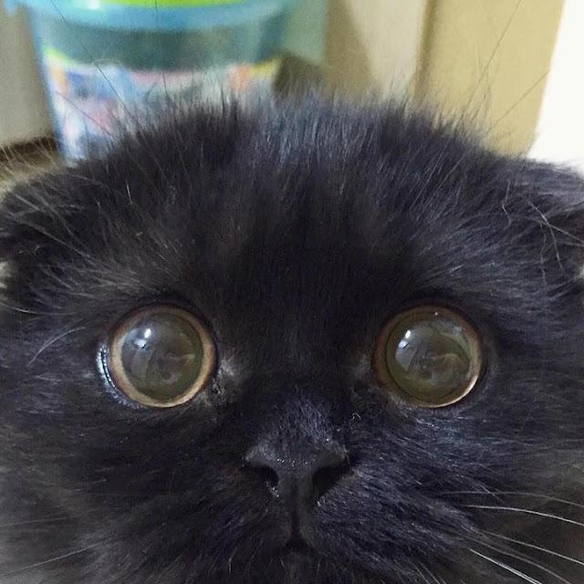 Adorável gato tem os olhos grandes e hipnotizante como os de uma sábia coruja