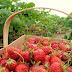 Aplikasi Pemupukan BioBoost Pada Tanaman Strawbery