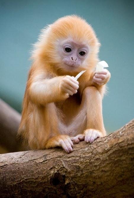 baby silver langur baby silver langur monkeys are born orange in color    Golden Lion Tamarin Babies
