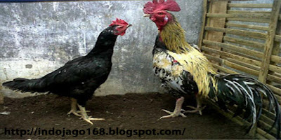 Mengenal ayam birma