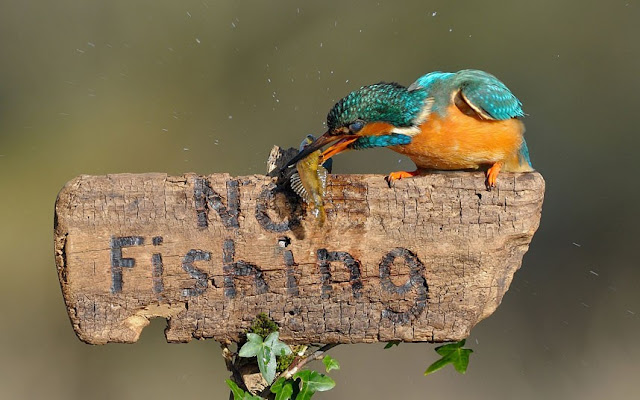 kingfisher-bird-eats-fish