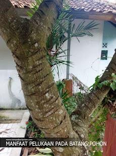 Manfaat pelukaan pada batang pohon mangga (dibuat luka)