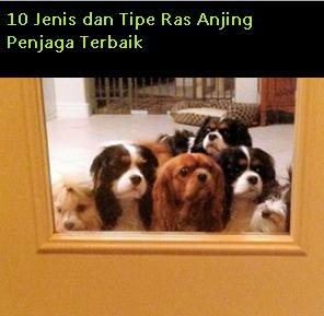 10 Jenis dan Tipe Ras Anjing Penjaga Terbaik