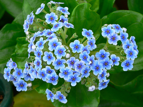 Chatham Islands Forget-me-not