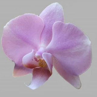 zart rosa