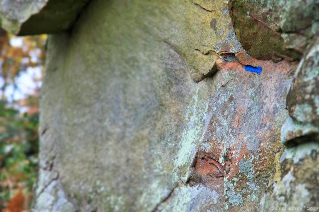 Le rougeaud aux yeux bleux, sentier n°11, Fontainebleau