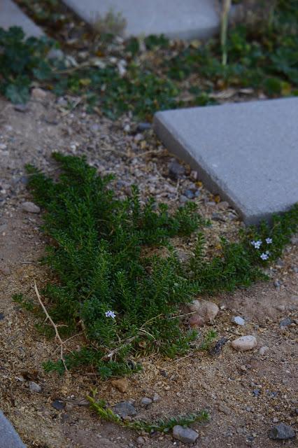 Myoporum parvifolium, prostratum, ground cover, desert, garden, small sunny garden, amy myers, australian plant
