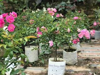 cây hoa hồng tầm xuân