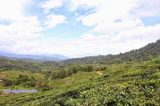 Lawatan ke ladang teh organik Sabah Tea