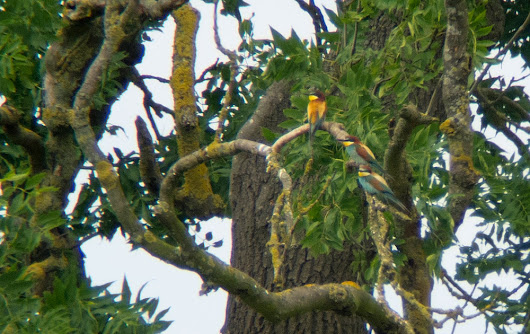 Bee-eaters in Nottinghamshire