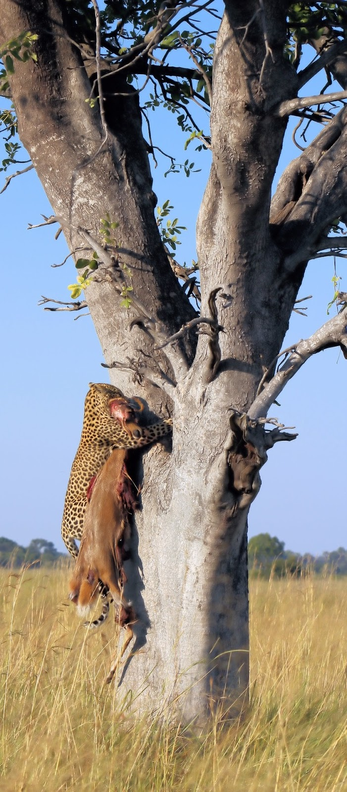 A leopard climbing a tree with it's killed prey