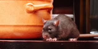 cara membasmi tikus di dapur
