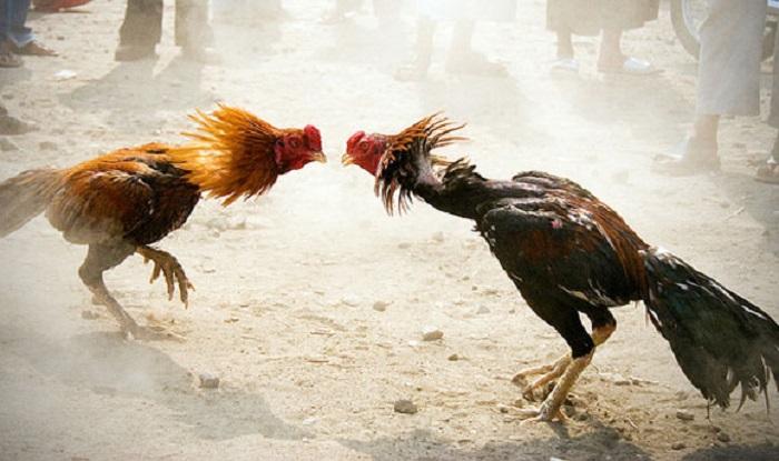 ayam: ayam laga putih