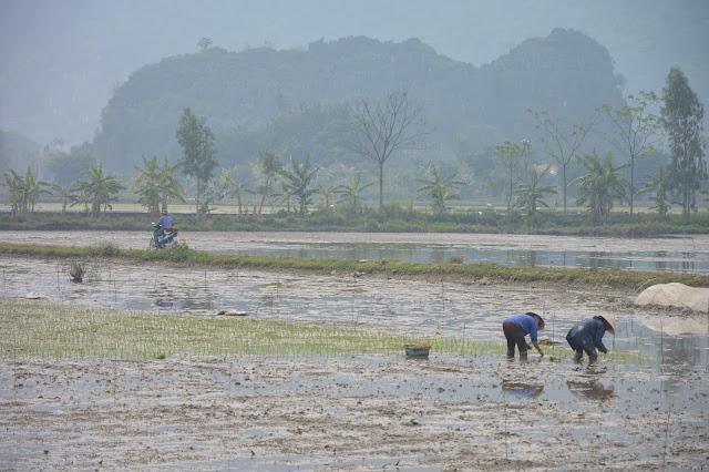 Cultivation dans la baie d'halong terrestre