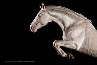 fotos profesionales de caballos finos