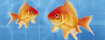 4zampedisimpatia gatti e pesci rossi for Pesci rossi quanto vivono