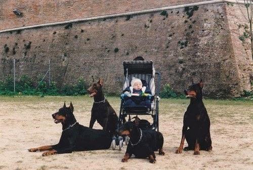 Four doberman retrievers guarding a baby in a pram, baby carriage