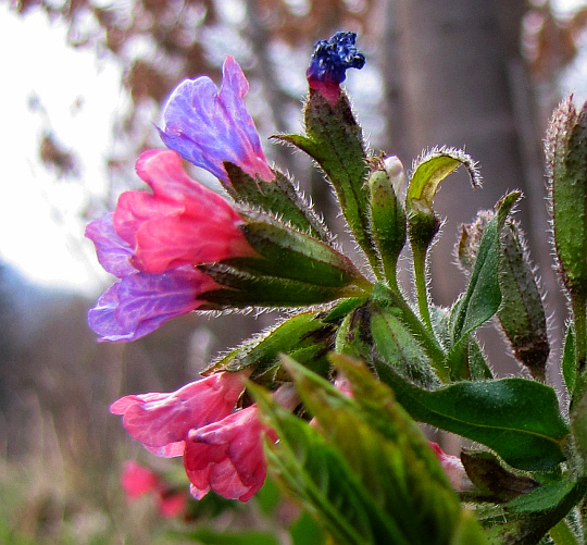 Miodunka wąskolistna (Pulmonaria angustifolia L.).