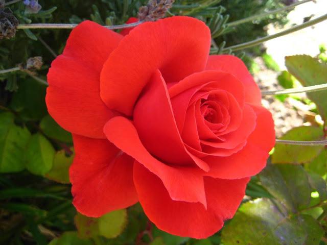 Sejarah Mawar