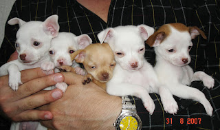 How To Go About Breeding Chihuahuas