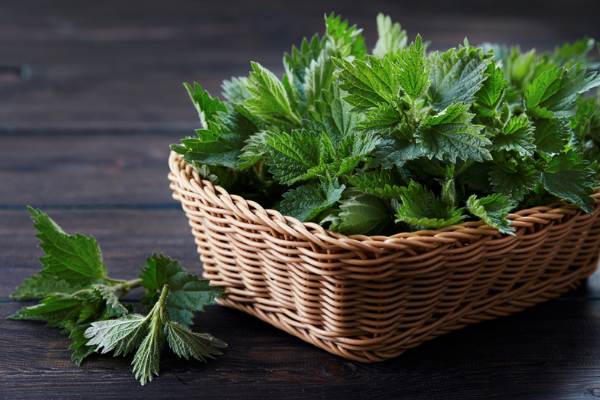Benefits Of Nettle For Your Body