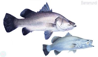 Barramundi fish, ভেটকী মাছ