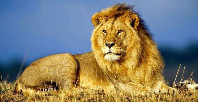 El leon, vertebrados en biologia