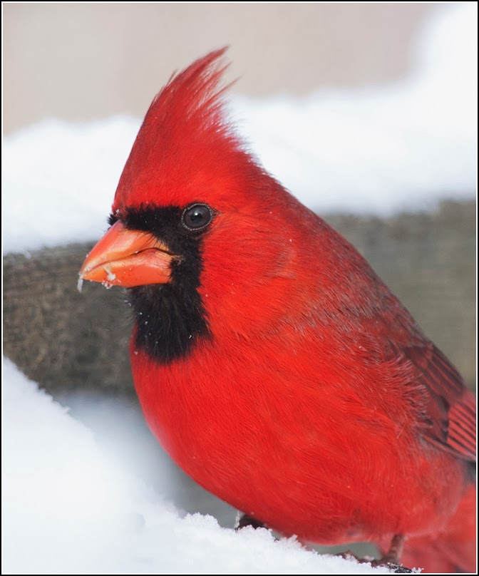 Ontario Birds and Herps: Common backyard birds! Photoshoot!