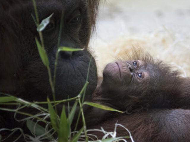 Paris zoo welcomes rare birth of endangered Orangutan
