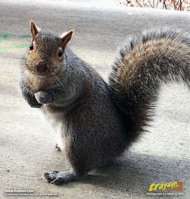 Eastern Gray Squirrel in Minnesota